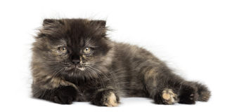 Highland fold kitten lying, looking at the camera, isolated Royalty Free Stock Photo
