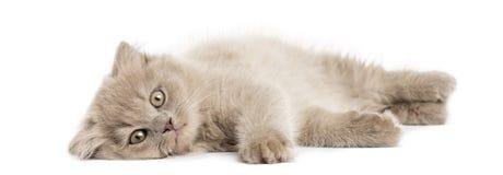 Highland fold kitten lying, looking at the camera Royalty Free Stock Photos