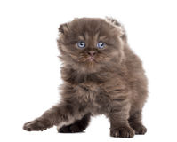 Highland fold kitten playing, standing up, isolated Stock Photo