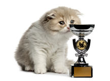 Highland Fold kitten smelling a trophy isolated on white Stock Image