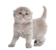 Highland fold kitten standing, looking up, isolated Stock Photography