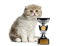 Highland Fold kitten with a trophy isolated on white. Young Highland Fold kitten with a trophy, looking away isolated on white royalty free stock photography
