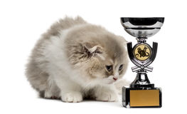 Highland Fold kitten and trophy looking down isolated on white Royalty Free Stock Photography