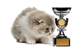 Highland Fold kitten and trophy looking down isolated on white. Young Highland Fold kitten with a trophy looking down isolated on white stock photo