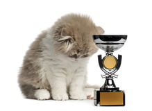 Highland Fold kitten with trophy looking down isolated on white. Young Highland Fold kitten with a trophy, looking down isolated on white royalty free stock image