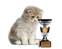 Highland Fold kitten with trophy looking down isolated on white Stock Photography
