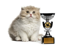 Highland Fold kitten with trophy looking up isolated on white Stock Photos