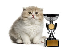 Highland Fold kitten with trophy looking up isolated on white Royalty Free Stock Photo