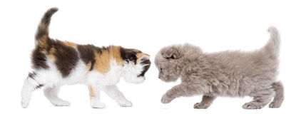 Highland fold kitten walking to each other Royalty Free Stock Photo