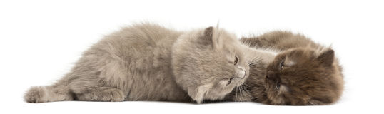 Highland fold kittens lying down, cuddling, isolated Stock Photos