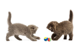 Highland fold kittens playing together with balls,