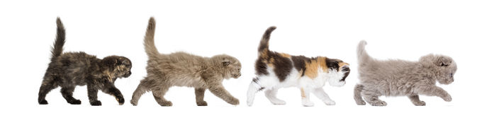 Highland fold kittens walking in line,. Side view of Highland fold kittens walking in line, isolated on white Stock Photography