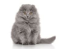 Highland Fold Scottish kitten on white background Stock Photography