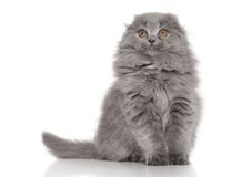 Highland Fold Scottish kitten on white background Stock Photo