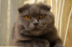 Highland fold. Scottish fold longhair cat. Photography at home Royalty Free Stock Photo