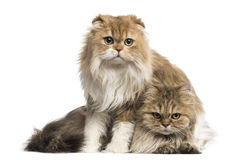 Highland Fold sitting above British Longhair, isolated Stock Photos