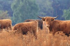 Furry highland cow cattle herd dry field royalty free stock photos
