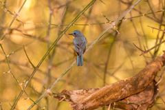 Highland Hill Blues Bird in the mid forest. Highland Hill Blues Bird staring at the other birds early morning royalty free stock photography