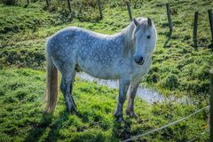 Highland horse at Scotland, Shetland Islands, United Kingdom. Highland horse at Scotland, Shetland Islands United Kingdom stock images