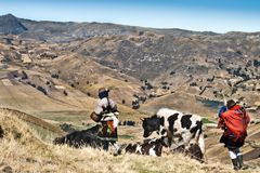 Highland indigenouses with cows. Two local indigenous women taking their cows home near the Zambahua village, Quilotoa area, Ecuador. The woman on the right is Stock Image