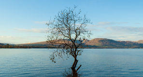 Highland landscape: one tree growing in a Scottish loch. One tree growing in a Scottish loch with highland landscape in the backgorund (Loch Lomond, Scotland Royalty Free Stock Photography