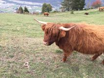 Highland cow in meadow stock images