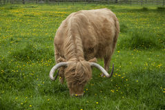 Highland Longhorn Royalty Free Stock Image