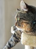 Highland Lynx Cat on His Cat Tower Royalty Free Stock Photography