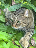 Highland Lynx Cat Hunting. A beautiful Highland Lynx cat in the leaves hunting his prey stock photo