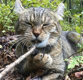 Cat Chewing on a Stick. Highland Lynx cat lying in the woods with a stick. He has his claw holding the stick while he chews it stock photo