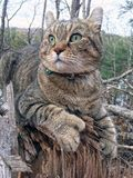 Highland Lynx Cat in the Woods. A beautiful gray tabby Highland Lynx cat sitting on a log in the woods looking around for prey royalty free stock photography