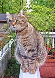 Highland Lynx Tabby Cat on a Porch Looking Around. Beautiful gray Highland Lynx tabby cat sitting on a porch rail, surrounded by flowers and trees, curiously stock images
