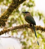 The Highland Motmot Stock Photo