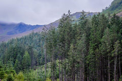 Highland pine trees. Trees in the Scottish highlands Royalty Free Stock Image