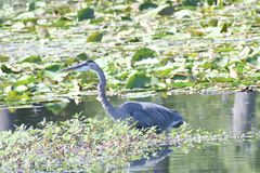 Blue Heron in Blue springs III