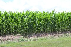 Tennessee Farmland 2019 III. Highland Productions LLC  Darren Dwayne Frazier  The farmlands of Tennessee. The Tennessee corn in mid June. Twin trees that show stock photo