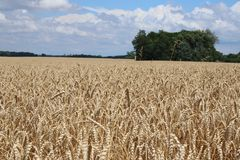 Tennessee Farmland 2019 III. Highland Productions LLC  Darren Dwayne Frazier  The farmlands of Tennessee. The Tennessee Golden wheat in mid June. Twin trees that royalty free stock image