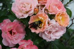 Multi-Color Rose bushes 2019. Highland Productions LLC Darren Dwayne Frazier These roses are bred for the color mixture. Most plants that are like this are a stock photography