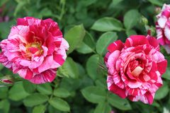 Variegated Rose Petals and evening light 2019 IV. Highland Productions LLC Darren Dwayne Frazier These roses are bred for the color mixture. Most plants that are stock image