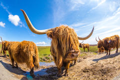 Free Highland Red Cow Royalty Free Stock Image - 55050376