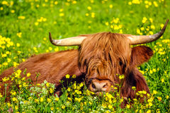 Highland Red Cow stock photos