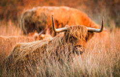 Highland red cow. In evening light royalty free stock photography