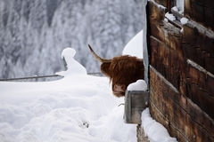 Highland red cow in warth austria Stock Image