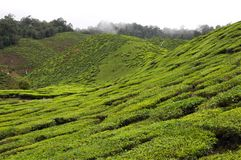 Highland Resort - Tea Plantation Royalty Free Stock Image