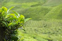 Highland Resort Tea Plantation Royalty Free Stock Photos