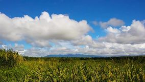 Highland rice flowers. A closeup shot of rice plants in bloom, from highland paddies, under a blue sky with puffy cumulus clouds. Presented in real time stock video footage