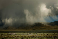 Highland scenery. China's Tibet Ngari Tibetan wild ass is a plateau-type animal, dwelling in the elevation of 3600-5400 m zone, camp social life, cold, sun and Royalty Free Stock Photo