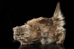 Highland Scottish Fold Cat with short Tail on Black Mirror Stock Photo