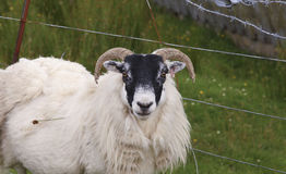 Highland sheep royalty free stock images