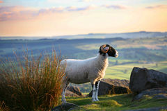 Highland Sheep. A highland sheep with a skyline view over Derbyshire royalty free illustration
